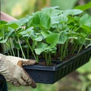 Как вырастить здоровую рассаду перца