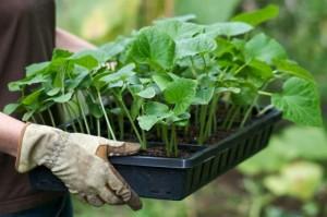 как вырастить здоровую рассаду