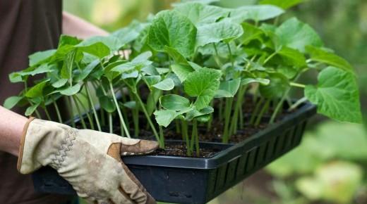 Совет горожанам, как вырастить здоровую рассаду на подоконнике и на балконе