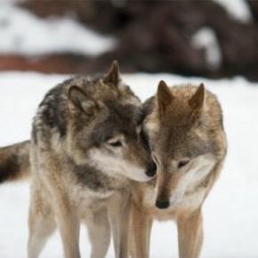 Сегодня волки гуляют свадьбы