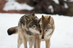 волки гуляют свадьбы