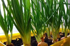 Как выращивать овощи на подоконнике