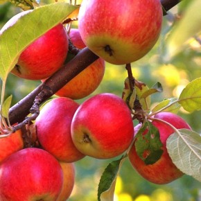 Быстрые яблоки- новые сорта в 2016 году