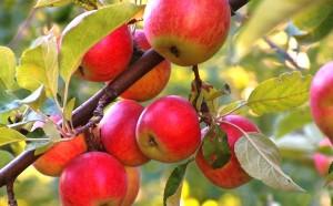 Яблочко от яблони...