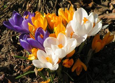 Мелколуковичные - первоцветы в рокарии