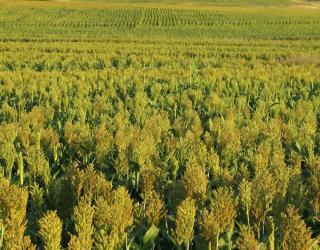Выращивание сорго