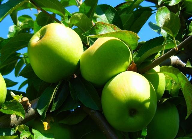 Украинские яблоки