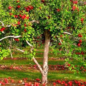 Когда сажать яблони в 2016 году: время и правила посадки