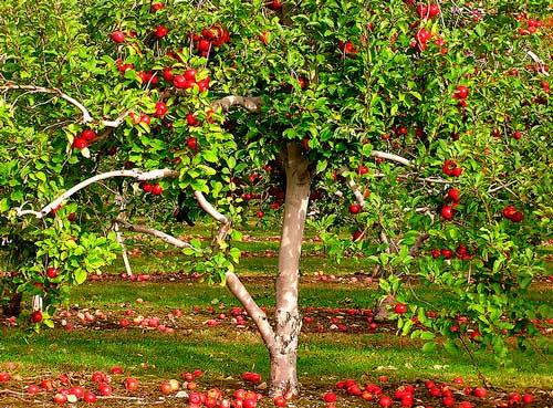 В Калининградской области будет высажено еще 50 гектаров садов