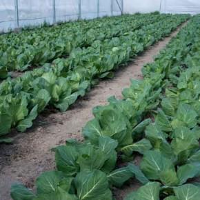Капуста кале: выращивание, уход, полезные пищевые свойства