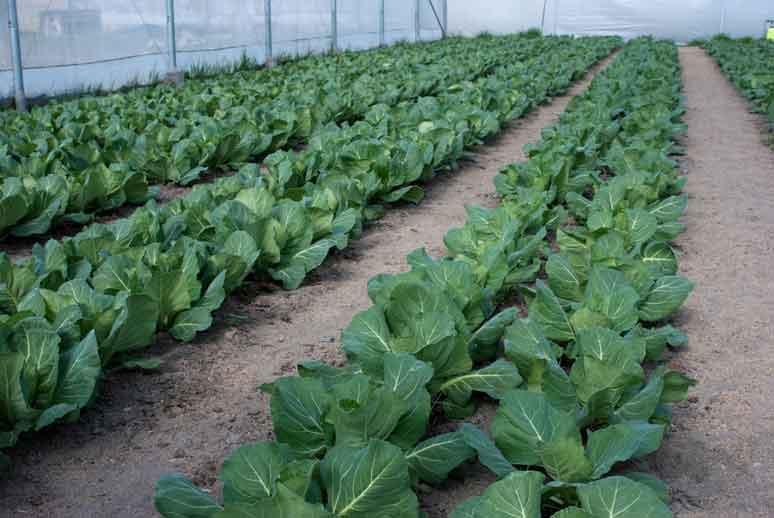 Технопарк для производства капусты