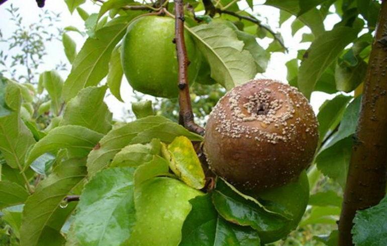 Гниль семенной камеры яблок
