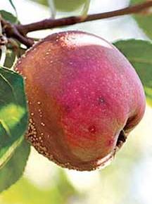 Фитофтороз яблони, как бороться