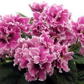 Сенполия - королева комнатных цветов