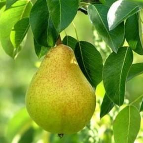 Плоды еще не созрели, а уже осыпаются