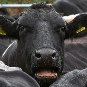 Где людям выпасать коров в 2015году?