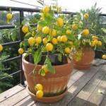 Как выращивать лимоны в Украине