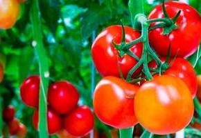Когда садить помидоры на рассаду в марте 2014 года
