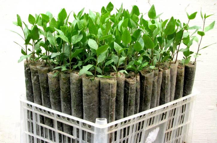 Выращивание в домашних условиях фисташки