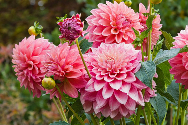 сентябрь — месяц астр, георгин и хризантем