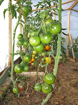 Что делать с томатами во время жары