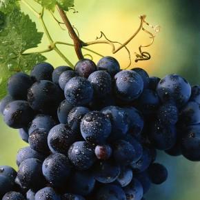 Пища для винограда