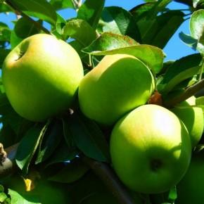 Как вырастить яблоню в пустыне