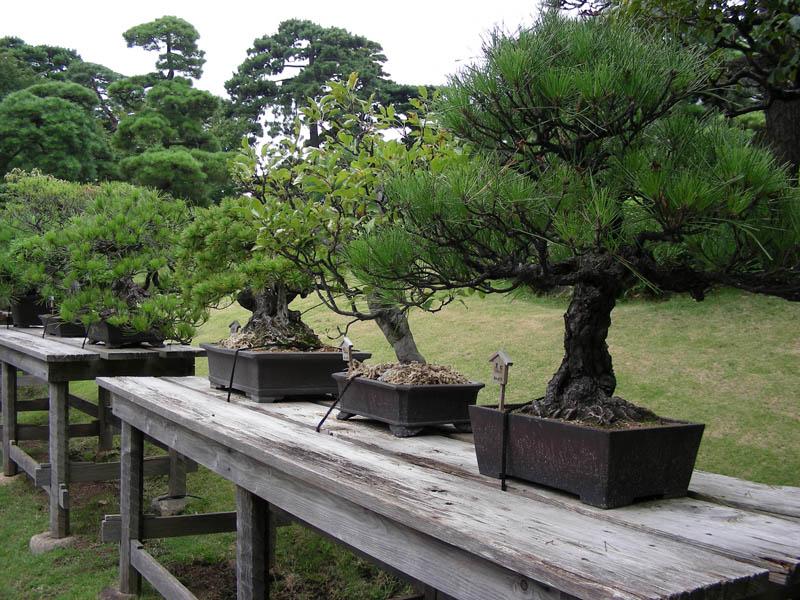 Собственный сад — идеальный материал для бонсаи