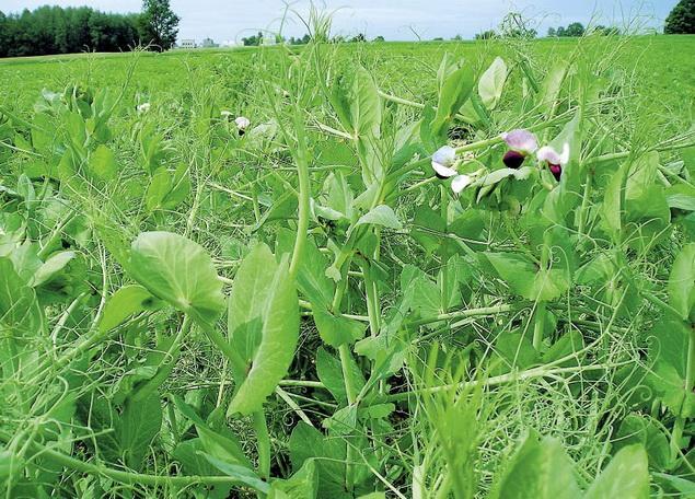 Современная технология выращивания гороха и сои