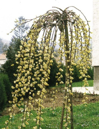 Природные мутации — источник для садовых коллекций