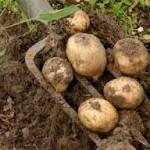 Когда сажать картофель в 2014 году