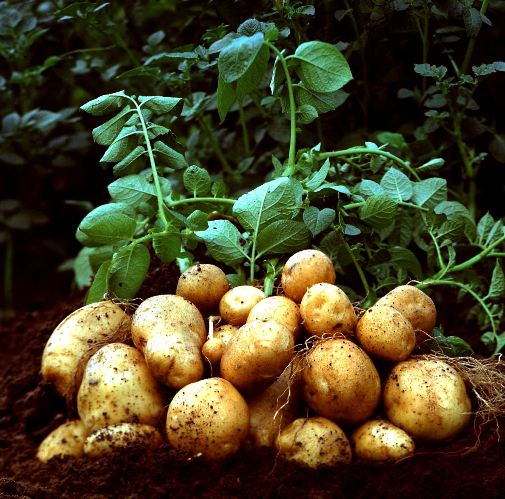 Как выращивать картофель в мешках в 2015 году