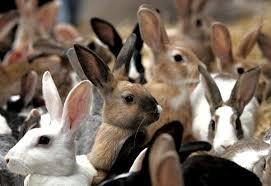 Чесотка у кроликов: лечение,профилактика