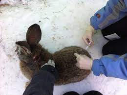 Вакцинация кроликов: причины неудач
