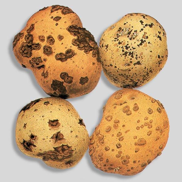 У картофеля обыкновенная парша