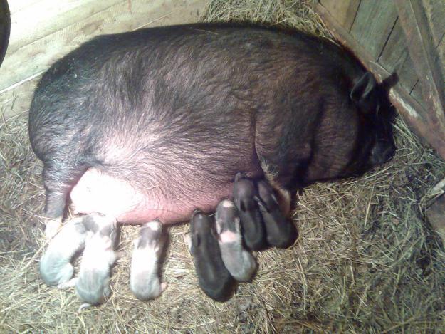 Быть или не быть вьетнамским свиньям?