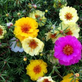 Портулак: сорняк, достойный уважения