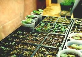 Когда садить помидоры на рассаду по лунному календарю 2014