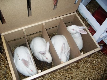 Разведение кроликов домашних условиях - Хобби и увлечения