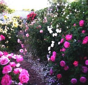 Как обрезать розы после зимы правильно в 2016 году