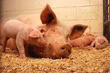 Как уберечь свиней от гибели