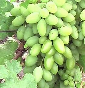 Обрезка винограда: формирование куста осенью, весной, летом