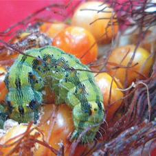 Приемы защиты кукурузы от вредителей