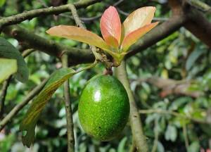Как вырастить авокадо