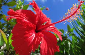 Гибискус (китайская роза) - уход: размножение, обрезка, пересадка, удобрение, болезни