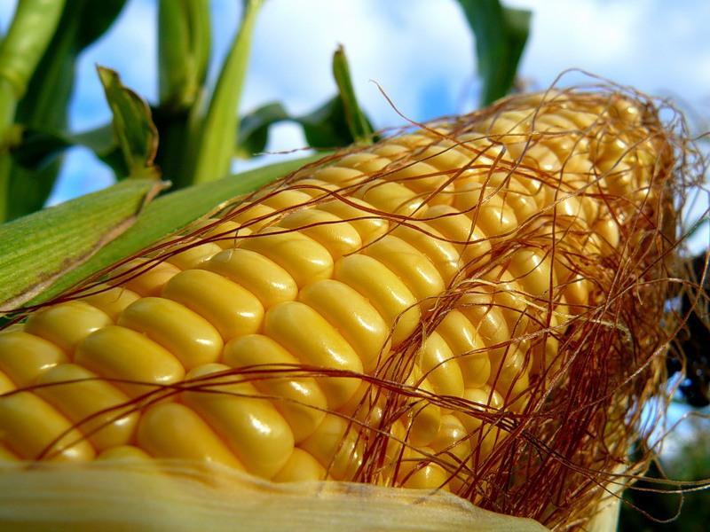 Берегите средства для защиты кукурузы