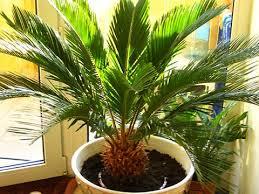 Как выбрать пальму и правильно за ней ухаживать