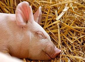 Как защитить своего питомца от свиного гриппа