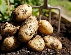 Как хранить картофель до лета