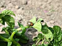 Лютые враги картофеля — фитофтороз и колорадский жук